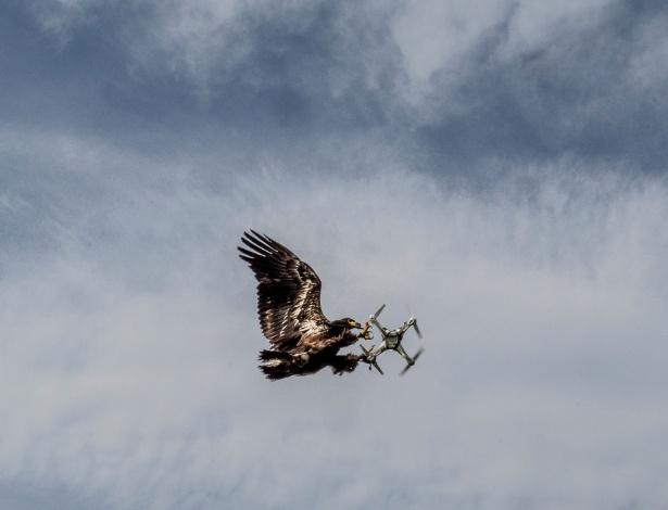 Águia da empresa Guard From Above agarra um drone no ar, em Katwij (Holanda), onde aves como esta são treinadas para interceptar pequenos veículos aéreos não tripulados