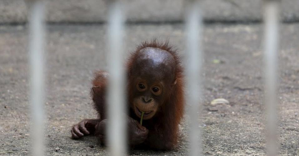 11.nov.2015 - Filhote de orangotango é colocado em uma gaiola em um centro de preservação animal na Tailândia. Os funcionários do local estão se preparando para enviar de volta à Indonésia 14 orangotangos confiscados em empresas de entretenimento