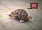 Tartaruga amputada ganha 'rodas' e fica mais rápida do que nunca (Foto: BBC/Reprodução)