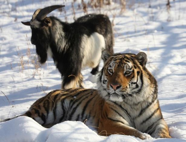 O tigre Amur e a cabra Timur ficaram amigos no Primorye Safari-Park, na Rússia