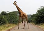 Girafa entra em lista de ameaça de extinção; população caiu 40% em 30 anos (Foto: Thomas Mukoya/Reuters)