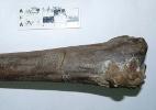 Fóssil de maior e mais antiga ave já registrada é encontrado na Antártida (Foto: Agência CTyS)