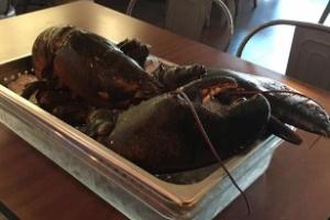 Larry, uma lagosta de 110 anos, escapa de virar comida na Flórida (Foto: Reprodução/Facebook/iRescue Wildlife)