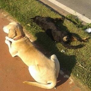 Cachorro ficou ao lado da companheira por pelo menos 10 horas, numa das avenidas mais movimentadas de Sorocaba, depois que a cadela foi atropelada e morreu