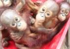 Bebês orangotangos vão à escola para aprender a viver na natureza (Foto: BBC)