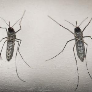 Aedes aegypti é o principal vetor da zika