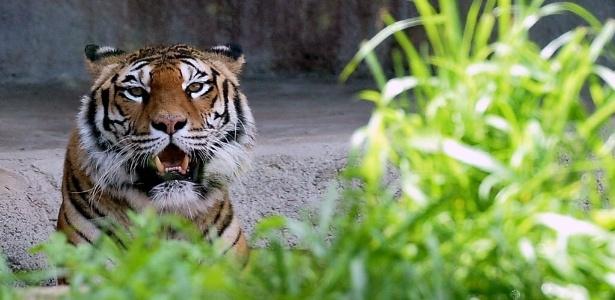 Apenas seis especies de tigres ainda podem ser encontradas na natureza: o siberiano, o de-bengala, o do-sul-da- China, o de-Sumatra, o indochinês e o malaio