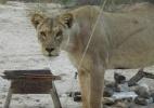 Turistas relatam apavorante encontro com leões em acampamento em Botsuana (Foto: BBC)