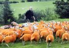 Cansado de ser furtado, fazendeiro pinta todas as suas ovelhas de laranja (Foto: Reproduição/The Westmorland Gazette/Jon Granger)