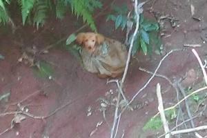 Cadela encontrada em vala em Marechal Cândido Rondon (PR)