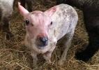 Rejeitado pela mãe após nascer sem pelo, bebê ovelha ganha casaco de lã para se proteger do frio (Foto: BBC)