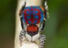 Cientistas descobrem novas espécies da deslumbrante 'aranha-pavão' (Foto: BBC)