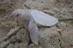 Vídeo capta nascimento raro de tartaruga albina na Austrália (Foto: Reprodução/Facebook)