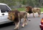 Leões resolvem dar uma volta e causam congestionamento na África do Sul (Foto: Reprodução)