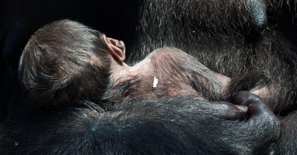 6.jul.2015 - Mãe gorila Shira segura seu bebê ainda sem nome que nasceu na última semana em um zoológico em Frankfurt, na Alemanha, nesta segunda-feira (6)