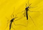 Em limbo regulatório, mosquito transgênico avança no Brasil (Foto: Oxitec)