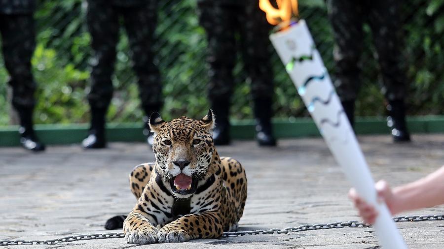 Onça Juma foi abatida pelo Exército pouco depois de participar do revezamento da tocha olímpica em Manaus