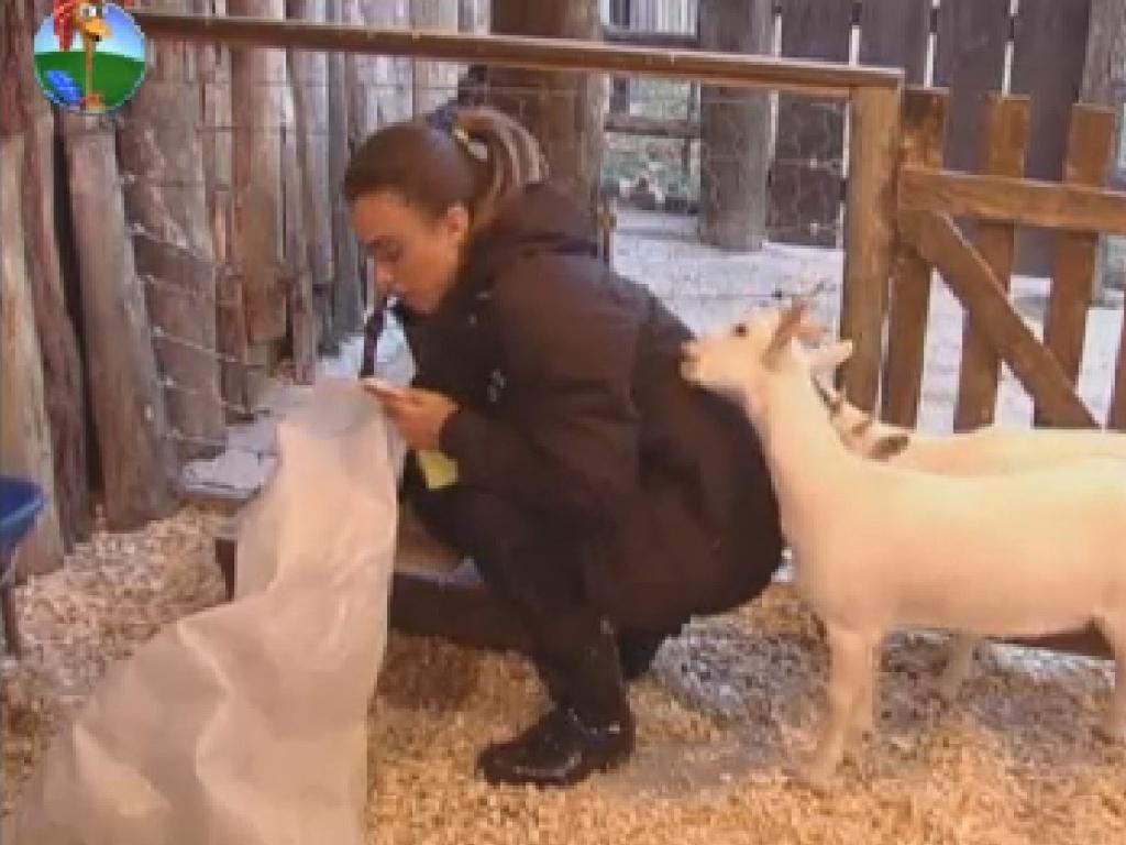 Cabras mordem casaco de Nicole Bahls enquanto modelo limpa a área dos animais (23/7/12)