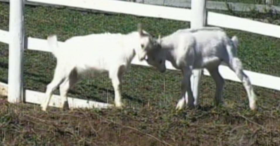 """As cabras Maria Elisa e Pietra são o xodó da ex-panicar Nicole Bahls em """"A Fazenda 5"""" (8/8/12)"""