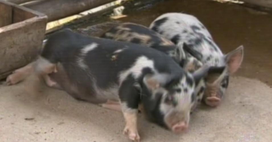 """As porquinhas de """"A Fazenda 5"""" descansam juntas no chiqueiro (8/8/12)"""