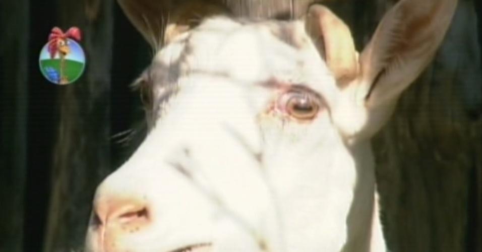 Mãe de Maria Elisa e Pietra, a cabra Paulete dá trabalhao para os peões quando precisa ser ordenhada (8/8/12)
