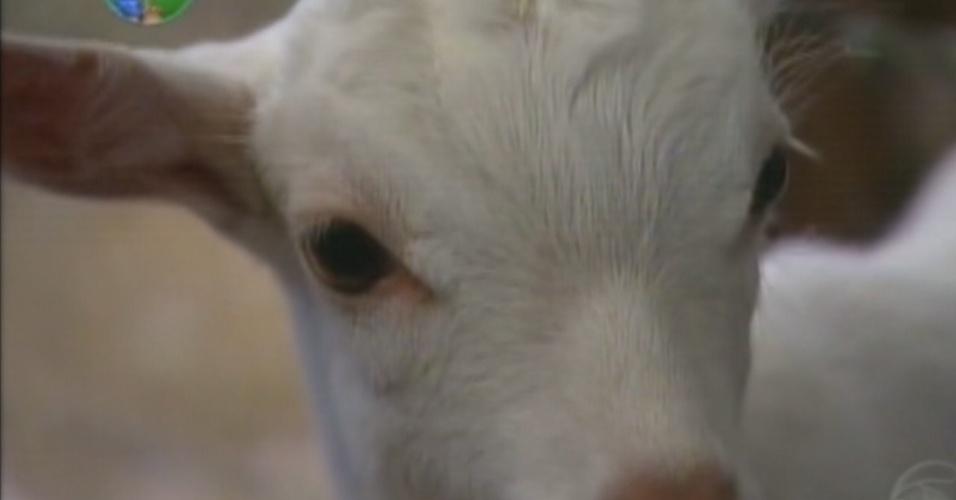 """Uma das cabras recèm-nascidas de """"A Fazenda 5"""" recebeu o nome de Maria Elisa (8/8/12)"""