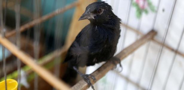 31mar2015---entre-as-aves-apreendidas-pelo-ibram-instituto-brasilia-ambiental-esta-o-passaro-bicudo-verdadeiro-1427836447467_615x300